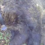 Αρκούδα πιάστηκε σε παγίδα για αγριογούρουνα (εικόνες)